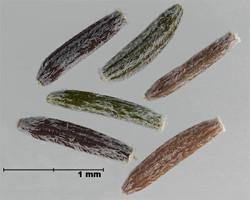 Narrow-leaved ragwort - Senecio inaequidens 8