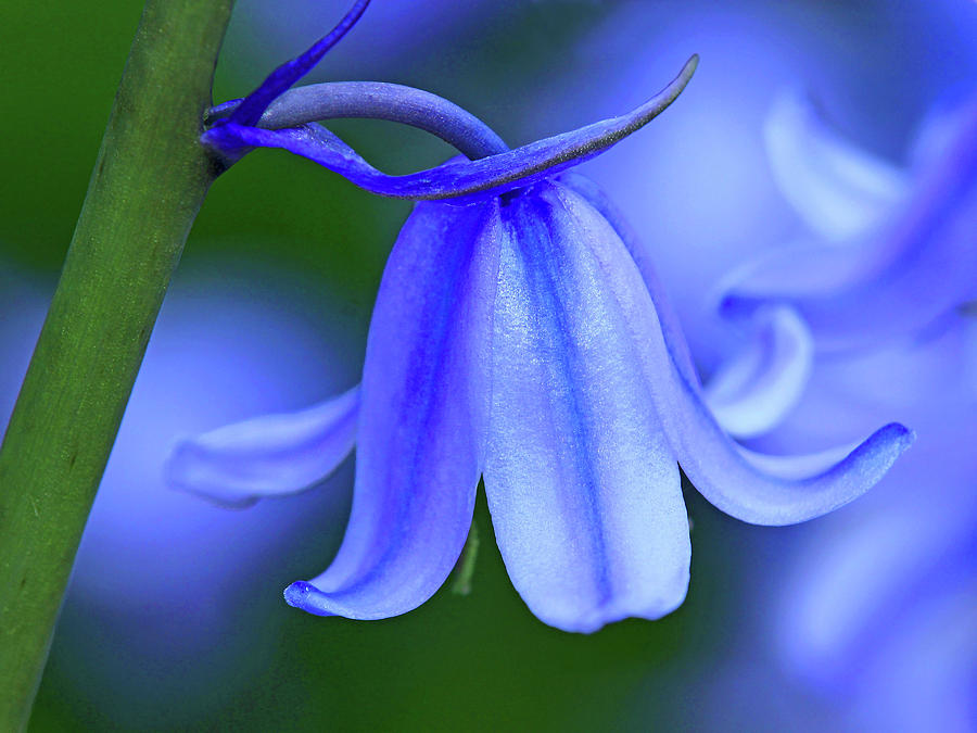 Spanish_Bluebell_- Hyacinthoides_hispanica_45