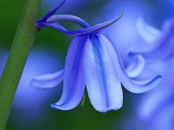 Spanish_Bluebell_-Hyacinthoides_hispanica_45