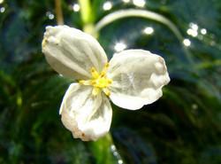 Large-Flowered_Waterweed_-Egeria_densa_4