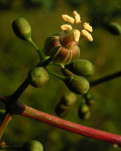 Virginia-creeper - Parthenocissus quinquefolia 25