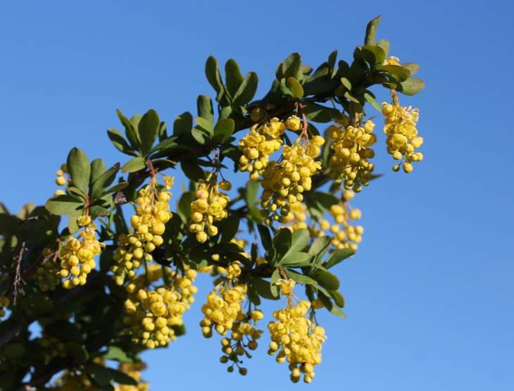 Barberry - Berberis vulgaris 25