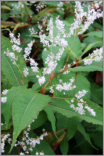 Himalayan_Knotweed_- Persicaria_wallichii_3