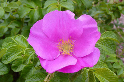 Japanese rose - Rosa rugosa 31