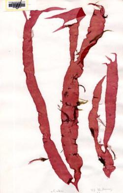 Red Alga - Grateloupia doryphora (9)