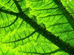 Brazilian Giant-Rhubarb - Gunnera manicata Leaf