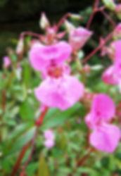Himalayan Balsam - (Impatiens glandulifera) Flower