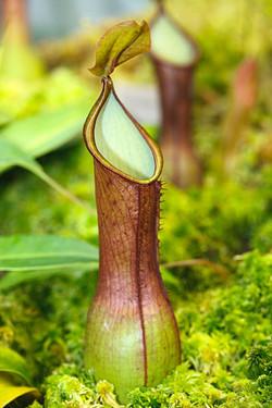 Pitcherplant - Sarracenia purpurea 5