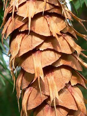Douglas fir - Pseudotsuga menziesii 6