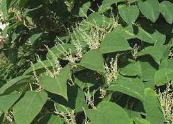 Giant Knotweed leaves 2