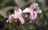 Bohemian knotweed -Fallopiaxbohemica Biodiversity High Risk Invasive Species 20