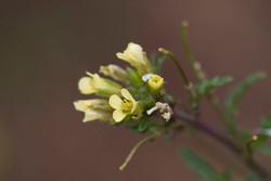 Hairy rocket - Erucastrum gallicum 8