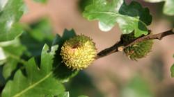 Turkey oak - Quercus cerris 34