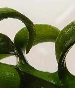 Curly_Waterweed_-Lagarosiphon_major_49