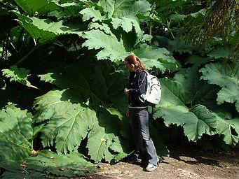Brazilian Giant-Rhubarb - (Gunnera manicata)