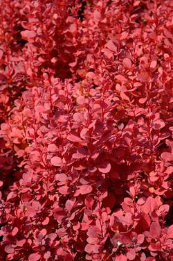 Japanese barberry - Berberis thunbergii 22