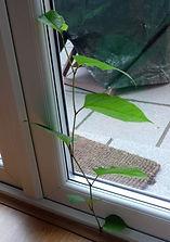 Japanese knotweed growing inside house