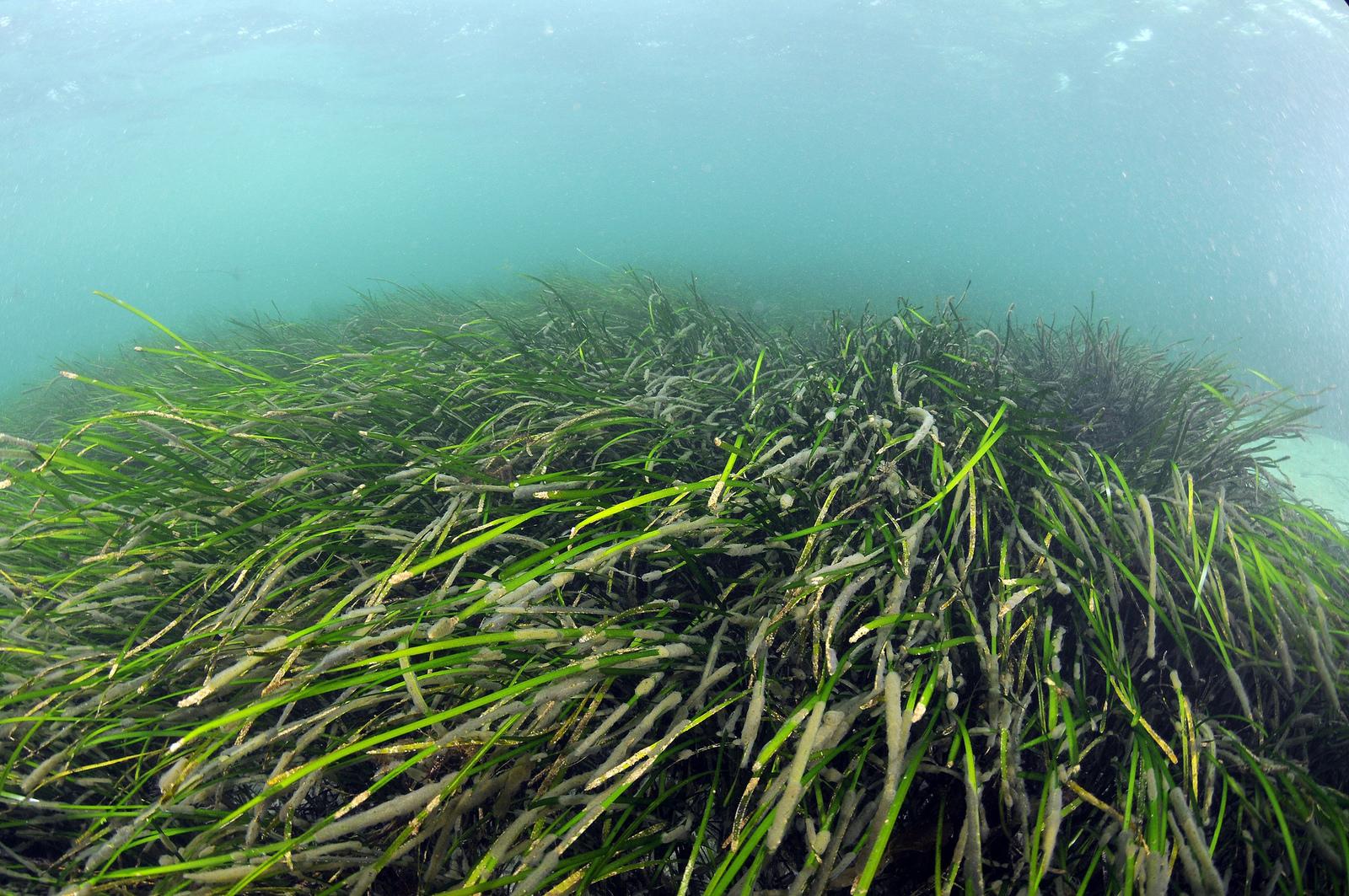 Dwarf Eelgrass - Zostera japonica 19