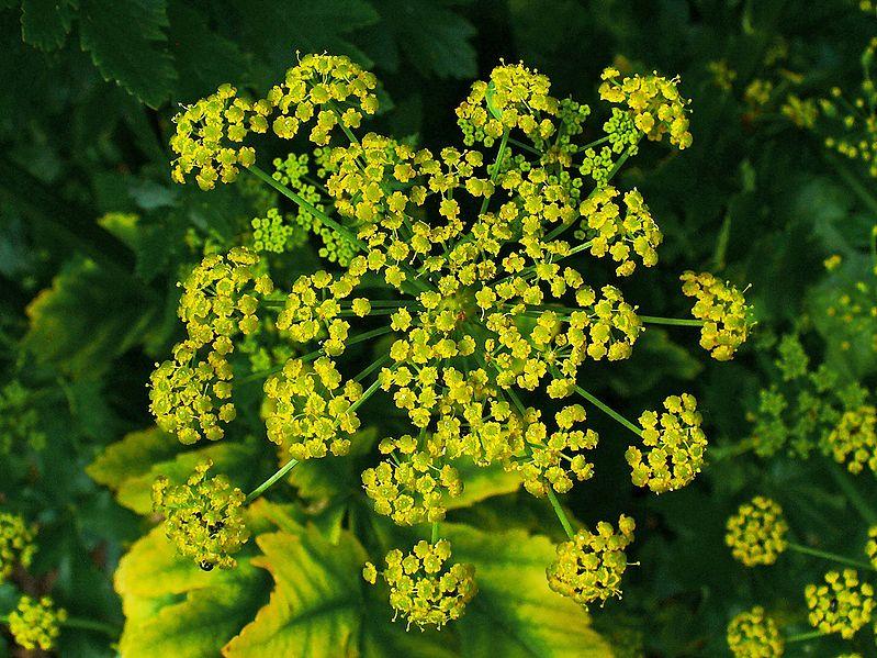 Wild parsnip - Pastinaca sativa 3