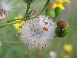 Narrow-leaved ragwort - Senecio inaequidens 1