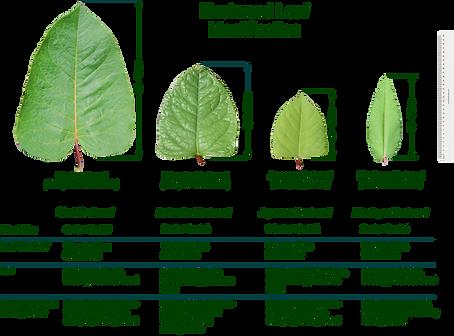 Knotweed leaf comparison