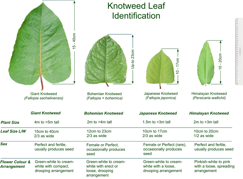 Knotweed leaf ID
