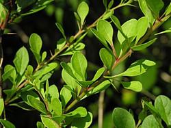 Japanese barberry - Berberis thunbergii 17