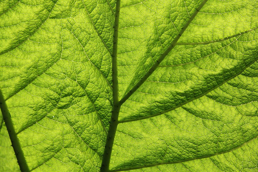 Giant-Rhubarb_-Gunnera_tinctoria_leaf