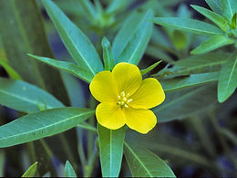 Water-primrose Flower