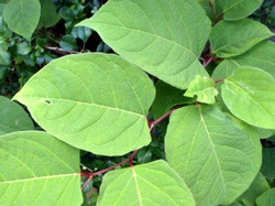 Japanese_Knotweed_-Fallopia_japonica_11