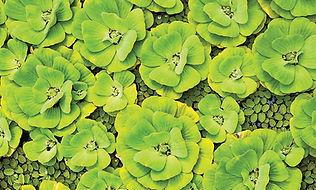 Water Lettuce - Pistia stratiotes leaves