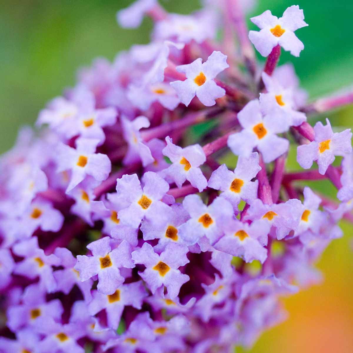 Butterfly Bush - Buddleja davidii14