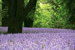 Spanish_Bluebell_-Hyacinthoides_hispanica_15