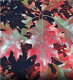 Red oak - Quercus rubra 16