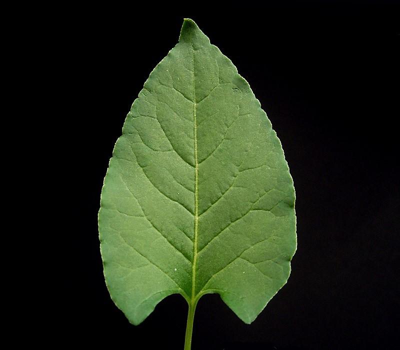 Russian-vine - Fallopia baldschuanica 22
