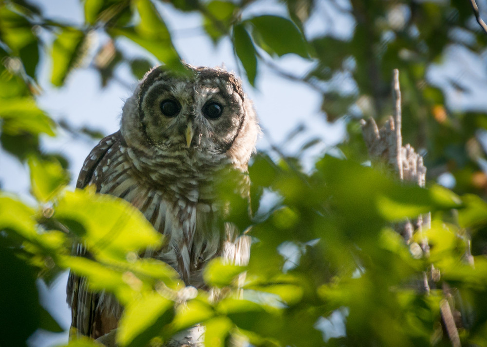 Although started as a project just targeting nightjars, project volunteers record observations of other bird species to help support the Maine Bird Atlas (2018-2022)