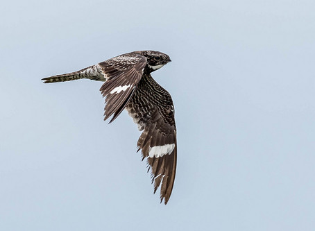 Booming Bullbats: afield with the Common Nighthawk