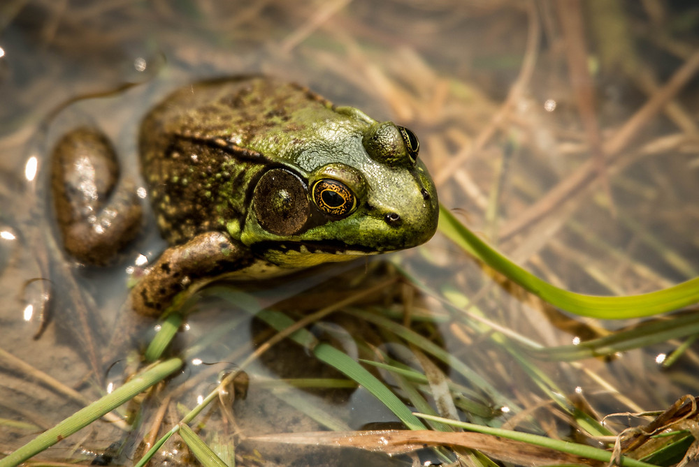 In addition to birds, volunteers often see and hear lots of other wildlife. Frogs, like this American Bullfrog, are commonly heard vocalizing at dusk.