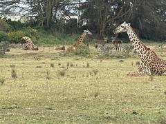Giraffes & Impala outside backyard in Kenya