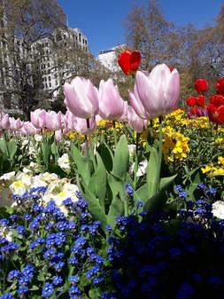 Embankment Tulips Bloom!