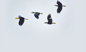 On the trail of Hornbills - NST