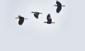On the trail of Hornbills - NST