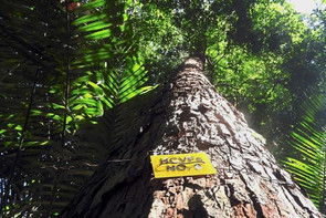 Society calls for conservation of endangered tree species