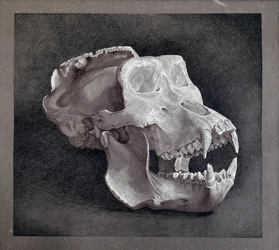 Gorilla Skull Study