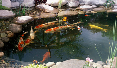 poisson-bassin-b.jpg