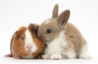 2-baby-rabbit-and-guinea-pig-mark-taylor.jpg