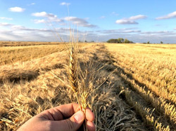 Cereali a Paglia 2018-19