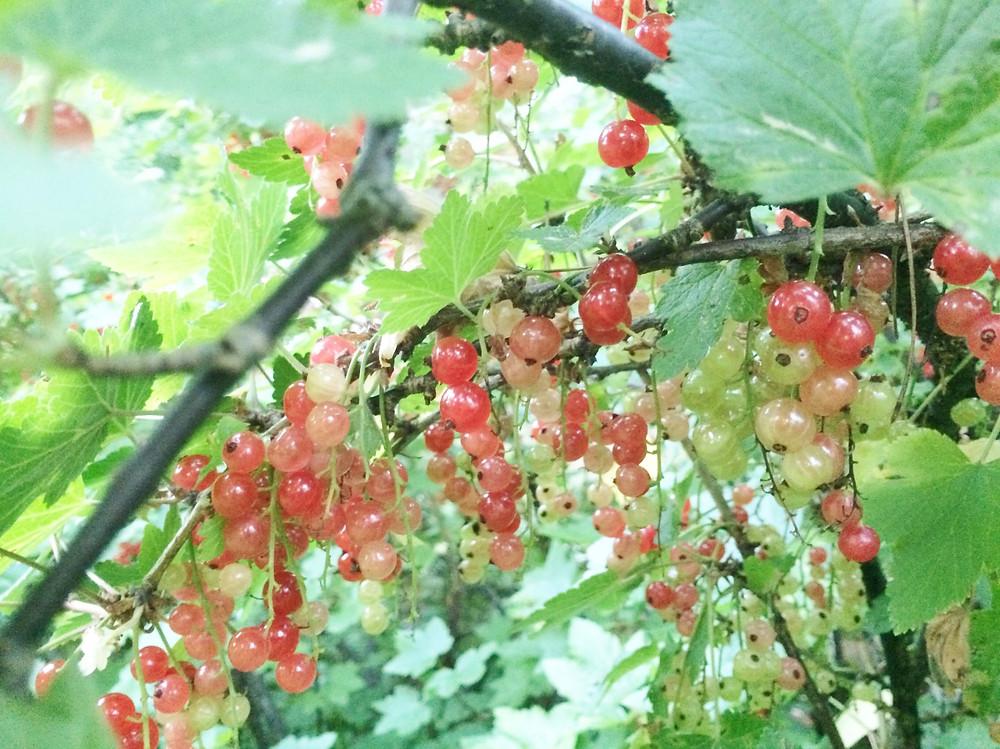 フィンランドのホスト宅の庭にあった果樹