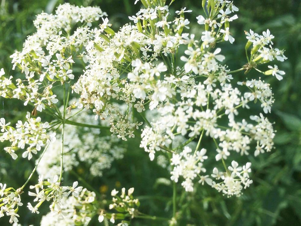 2018フィンランド盛夏の野の花