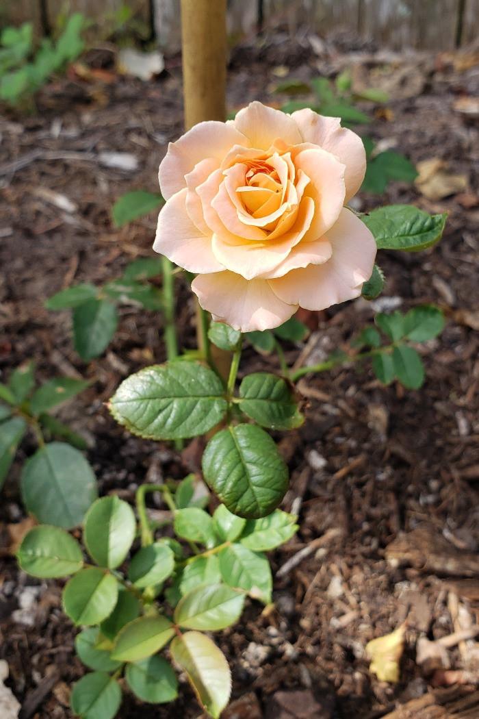 Jump for joy rose